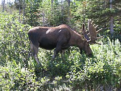 Gros Morne NP bullmoose.jpg