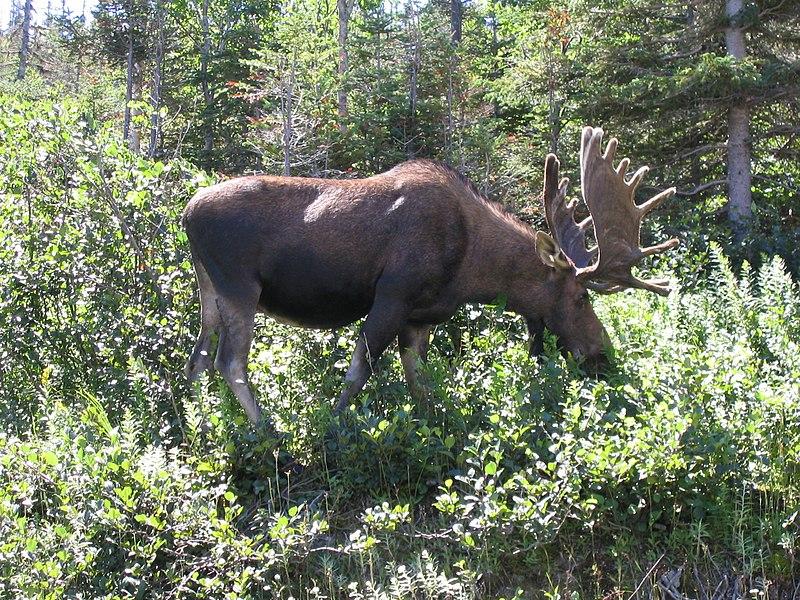File:Gros Morne NP bullmoose.jpg