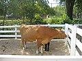 Guernsey Dairy Cow.jpg