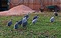 Guinea fowl, South Whilborough - geograph.org.uk - 1514945.jpg