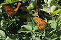 Gulf Fritillary butterflies in courtship on a Passion Fruit vine.JPG