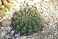 Gymnocalycium pflanzii Marquezii 0zz.jpg