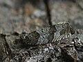 Gypsonoma nitidulana (39470019250).jpg