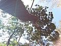 HK CWB 銅鑼灣 Causeway Bay 維多利亞公園 Victoria Park tree trunk n green leaves December 2019 SSG 13.jpg
