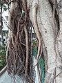 HK SW 上環 Sheung Wan卜公花園 Blake Garden 老榕樹 Chinese banyan tree 氣根 root n trunk February 2020 SS2 04.jpg