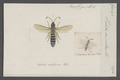 Halictus - Print - Iconographia Zoologica - Special Collections University of Amsterdam - UBAINV0274 045 05 0017.tif