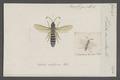 Halictus - Print - Iconographia Zoologica - Special Collections University of Amsterdam - UBAINV0274 045 05 0017.tif