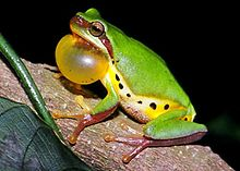 Hallowell's tree frog (Hyla hallowellii).jpg