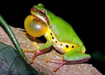 Hallowell's tree frog (Hyla hallowellii)
