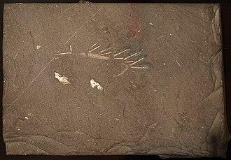 Hallucigenia - Specimen with obvious spines
