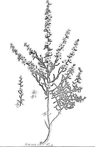 Halothamnus glaucus - Illustration of Halothamnus glaucus