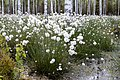 Hare's-tail cottongrass Eriophorum vaginatum Puszcza Piska Forest 3.jpg