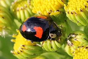 Harlequin Lady Beetle - Harmonia axyridis , UK.JPG