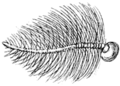 Harnischia curtilamellata antenna-male (from Francis Walker Insecta Brijtanica Vol 3 page 397 plate XXV).png