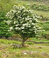Hawthorn in flower on Smeardon Down.jpg