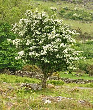 Beltane - A flowering hawthorn