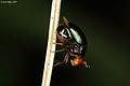 Head like a fly BUT 'wings' like a beetle- a beetle-fly from W-Java (5473771029).jpg