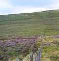 Heather in bloom - geograph.org.uk - 218480.jpg