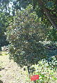 Heberdenia excelsa - Jardín Botánico de Barcelona - Barcelona, Spain - DSC09173.JPG
