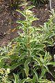 Helichrysum foetidum habitus.jpg