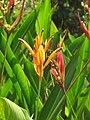 Heliconia psittacorum - Parakeet Flower at Wayanad (1).jpg