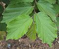 Helicteres isora leaves close-up.jpg