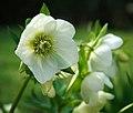 Helleborus orientalis - geograph.org.uk - 376862.jpg