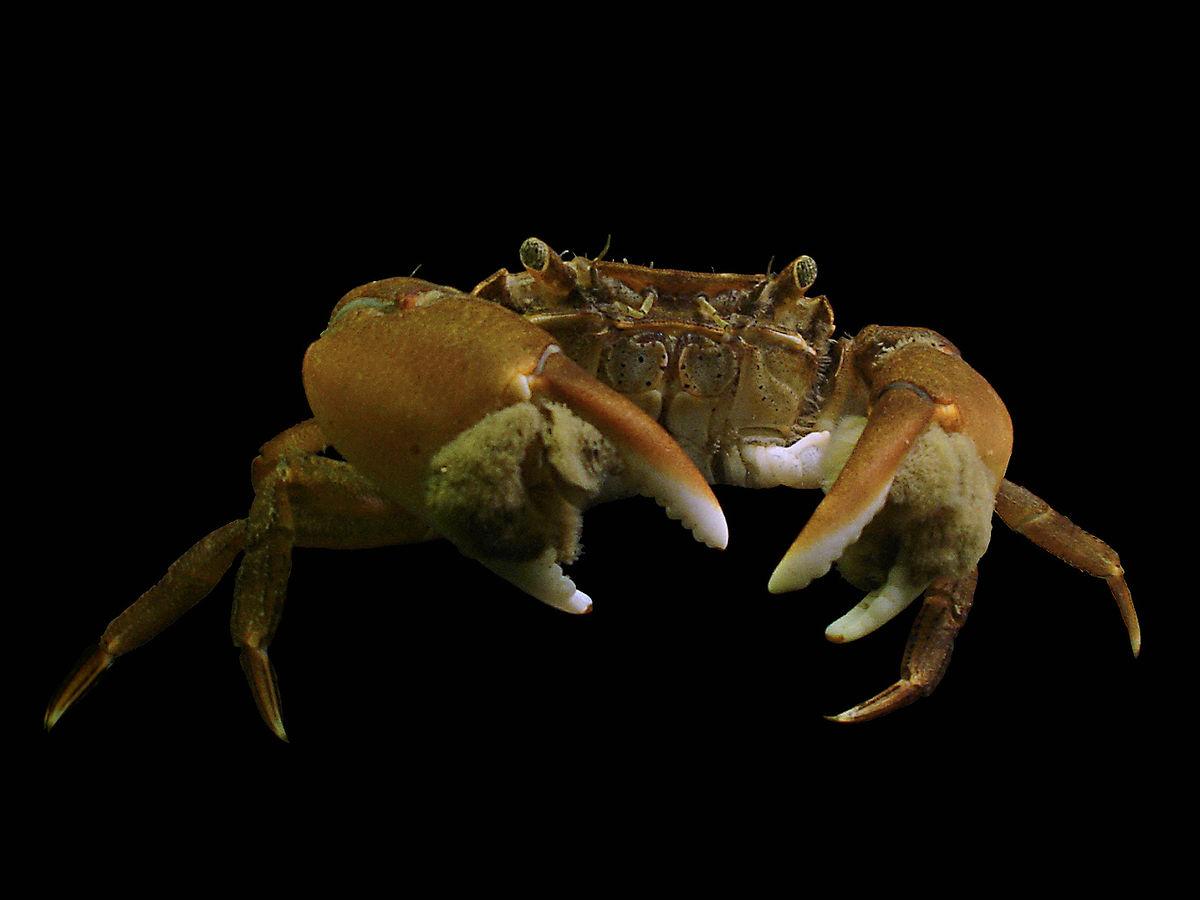 Genius species asian shore crab