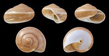 Hemiplecta distincta 01.JPG