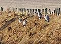Heron family gathering - geograph.org.uk - 692598.jpg