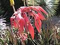 Hesperaloe parviflora HRM.jpg