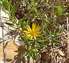 Heterotheca villosa var scabra 1