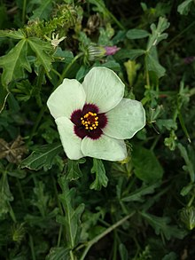 Hibiscus trionum (Flower-of-an-hour, or Bladder Hibiscus).jpg