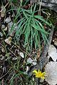 Hieracium bupleuroides 2.jpg