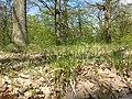 Hierochloe australis sl30.jpg