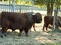 Highland bull 001.jpg