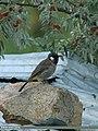 Himalayan Bulbul (Aves Tennantus) (16020259611).jpg