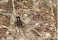 Hipparidium heros (F 1801).jpg