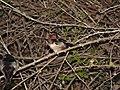 Hirundo rustica.051 - Monfrague.jpg