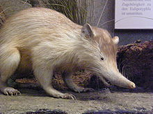 Yellow-furred, long-nosed mammal.