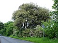 Holm oak on Ruins Barn Road - geograph.org.uk - 179030.jpg