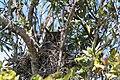 Horned Owl (5477257514).jpg