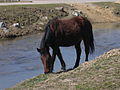 Horse grazing beside river in Koprivshitsa, Bulgaria.jpg