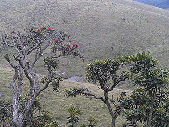 Horton Plains National Park - Rhododendron arboreum is the predominant tree species in the park
