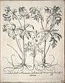 Hortus Eystettensis, 1640 (BHL 45339 033) - Classis Verna 22.jpg