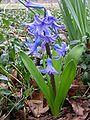 Hyacinth plant.jpg