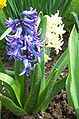 Hyacinthus orientalis 2003.jpg