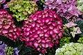 Hydrangea macrophylla 23.06.20 JM.jpg