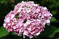 Hydrangea macrophylla Endless Summer 1zz.jpg