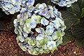 Hydrangea macrophylla Mathilda Gutges 7zz.jpg